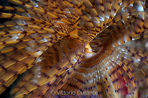 Giant fan worm by Vittorio Durante